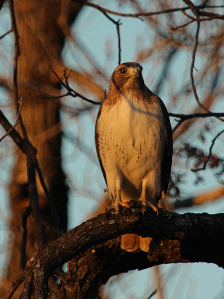 A Red-tailed Hawk at White Rock Lake, Dallas, Texas.