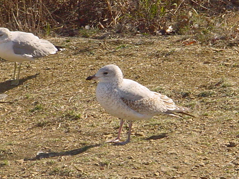 Ring-billed Gull - Woodlake Pond