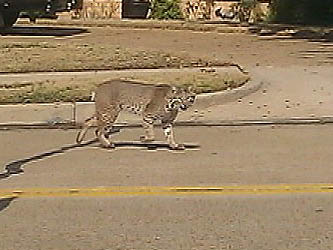 Bobcats Roam Carrollton Neighborhood