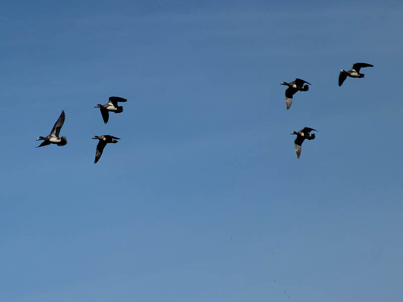 American Wigeon - Flyby