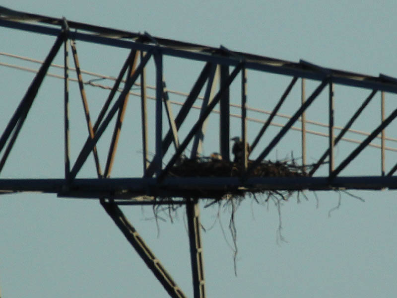 Bald Eagle - Nest Tower Update 2
