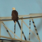Bald Eagle - Nest Tower Update 3
