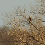 Bald Eagle - Nest Tower Update 1