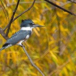Belted Kingfisher - Blue and Yellow