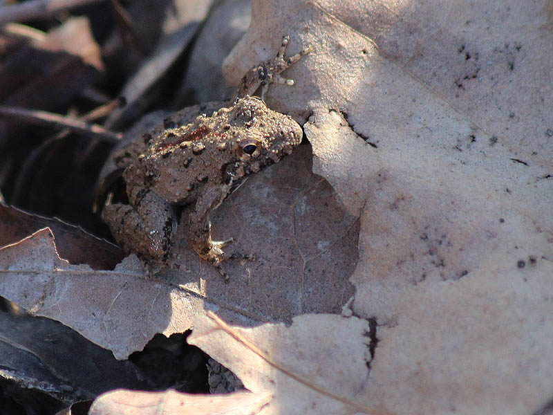 Blanchard's Cricket Frog - Winter Wonder