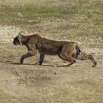 Bobcat - VCDB Encounters