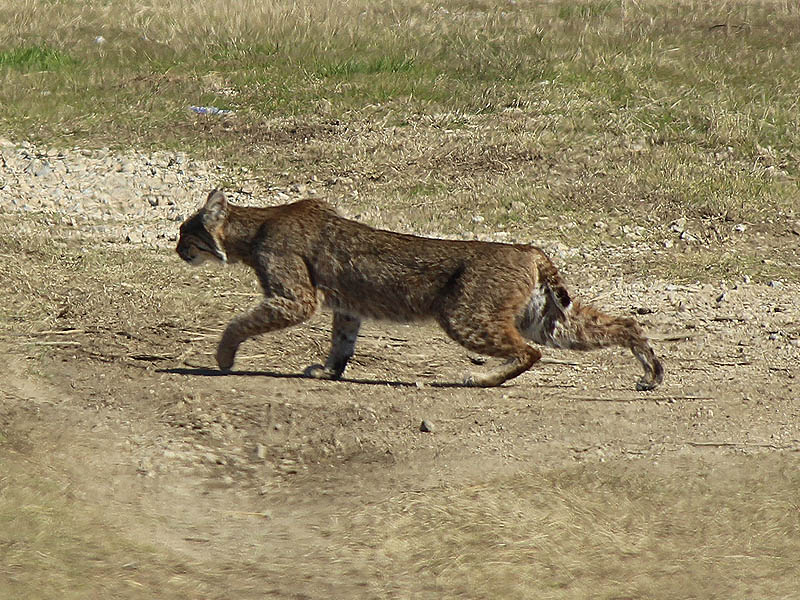 Bobcat - VCDB Encounters