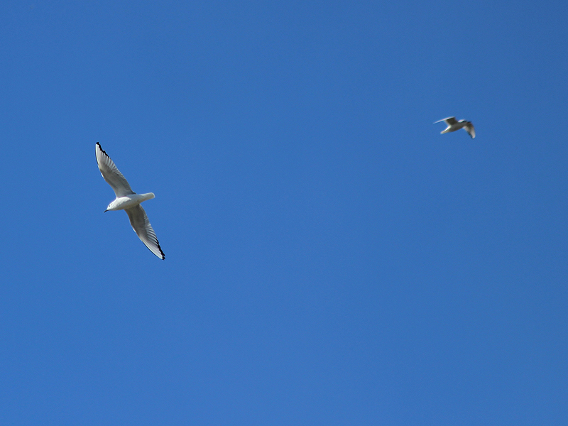 Bonaparte's Gull - Clear Blue Sky
