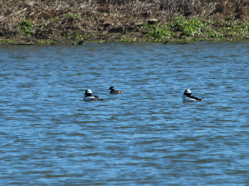 Two male Buffleheads and one female (center).