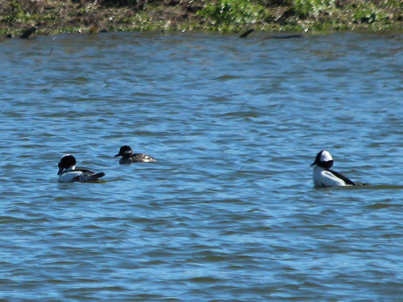 Male and female Buffleheads congregating at the VCDB in Arlington, Texas.