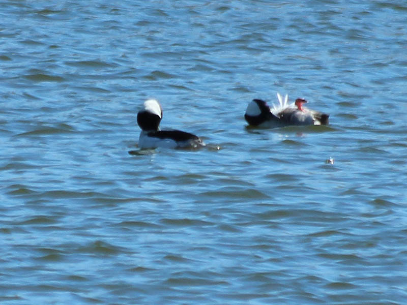 The male Buffleheads were very busy preening themselves.  Here, one has rotated onto his back in order work on his belly feathers.