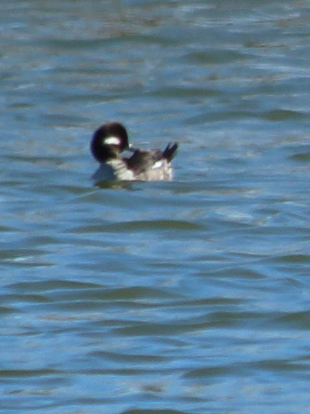 A female Bufflehead.