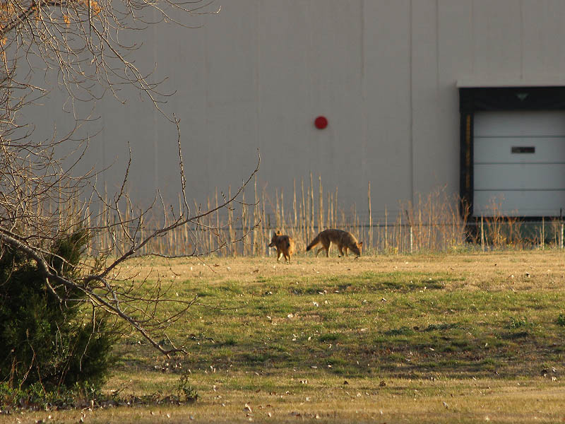 Coyote - Garland Business Park