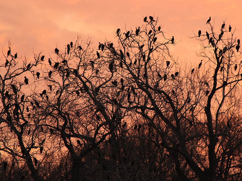 Double-crested Cormorant - River Roost