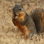 Fox Squirrel - Acorn Eater