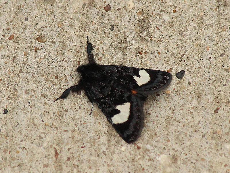 Grapevine Epimenis Moth - Winter Moth