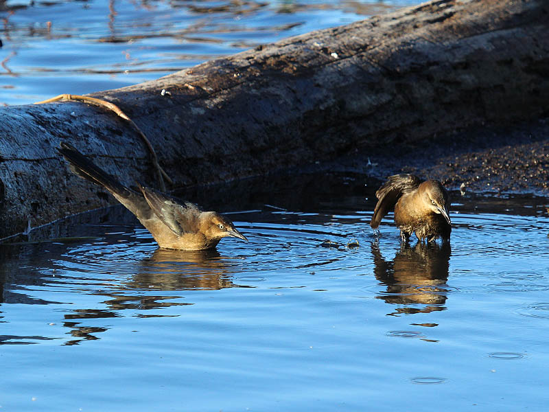 Great-tailed Grackle - Bathing Beauties