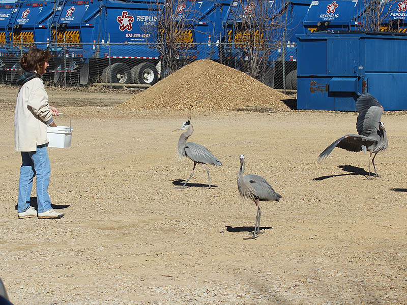 Its feeding time for the herons at the RWRC