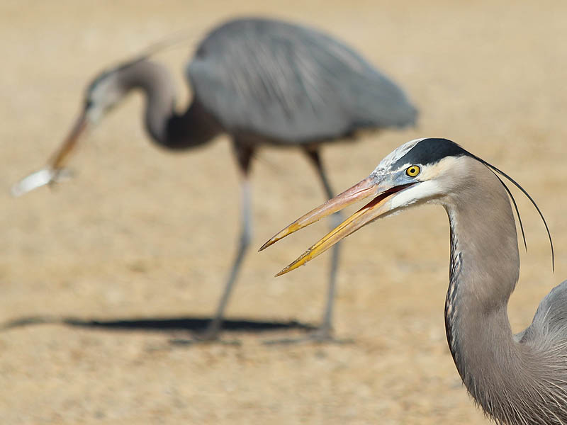 Great Blue Heron - Dinnertime