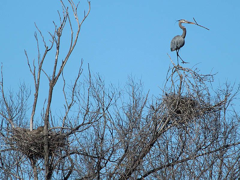 Great Blue Heron - Nest Raider
