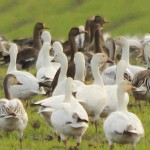 Greater White-fronted Goose - In Addition