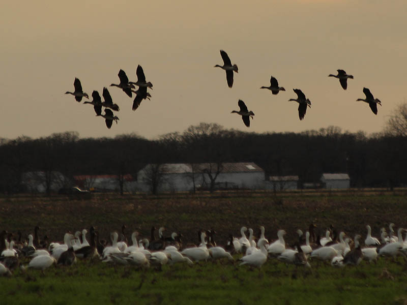 Greater White-fronted Geese flying by.