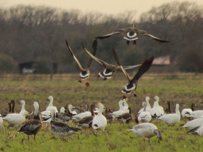 A group of four Greater White-fronted Geese coming in for a landing.