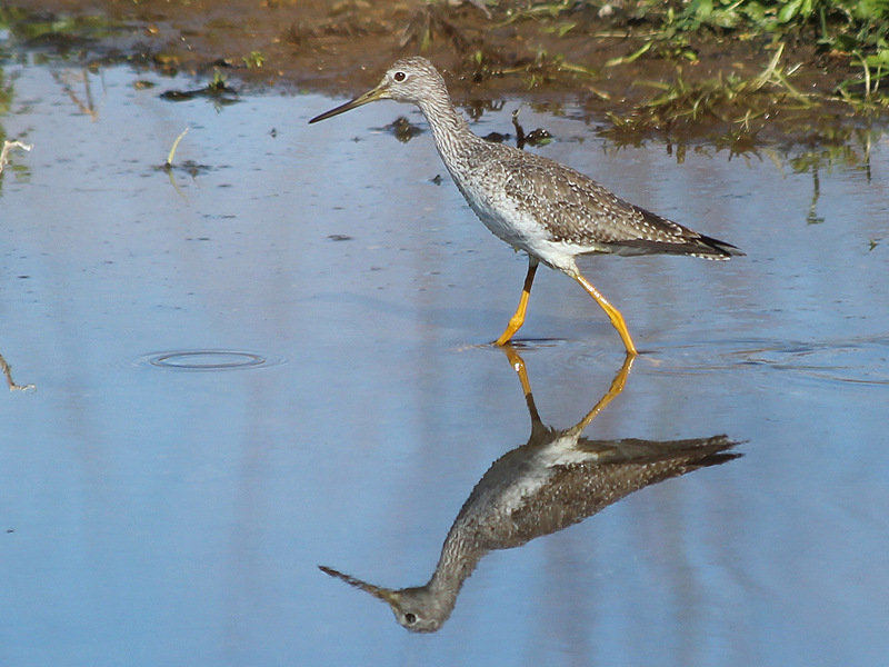 Greater Yellowlegs - Wader