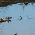 Greater Yellowlegs - VCDB