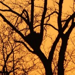 Great Horned Owl - Sunset