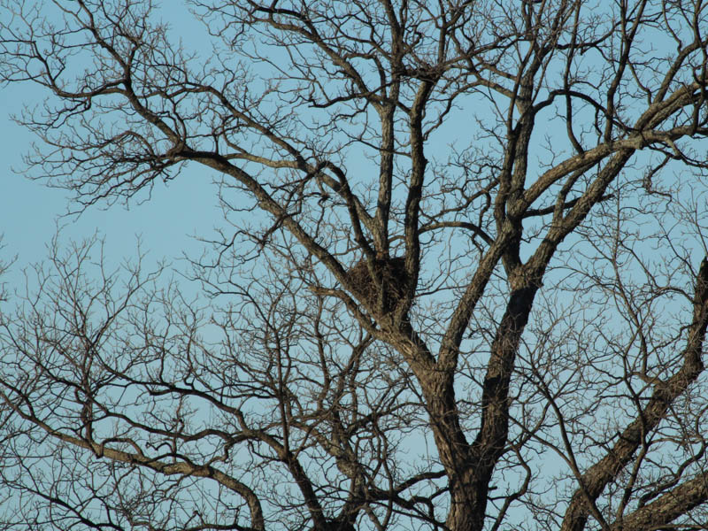Great Horned Owl - Trinity River Nest