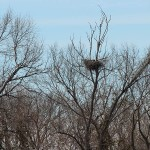 Great Horned Owl - Two Nests in the VCDB