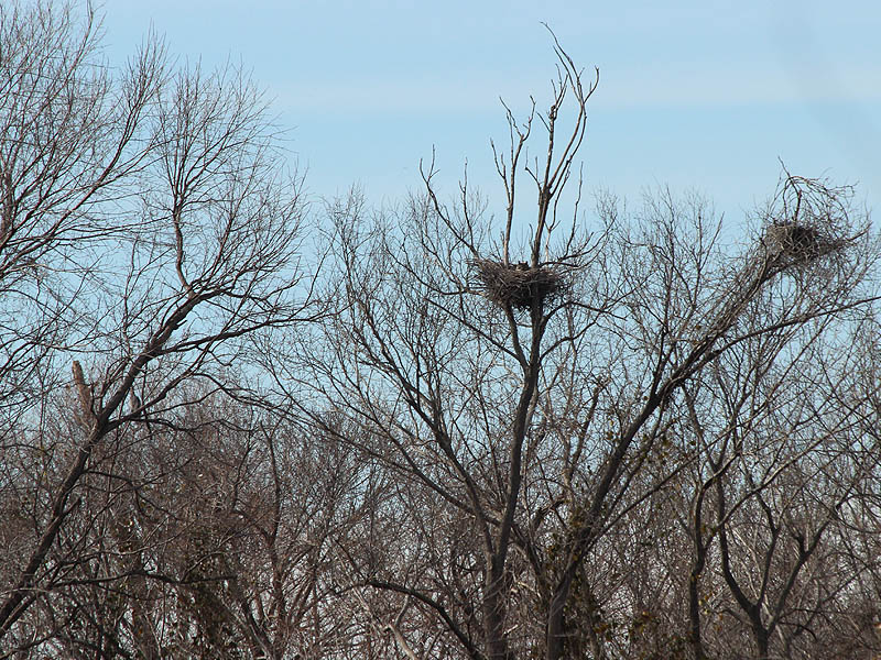 Nest One - Notice the Great Blue Heron nest near the top right corner of the picture.