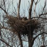 Great Horned Owl - VCDB Nest
