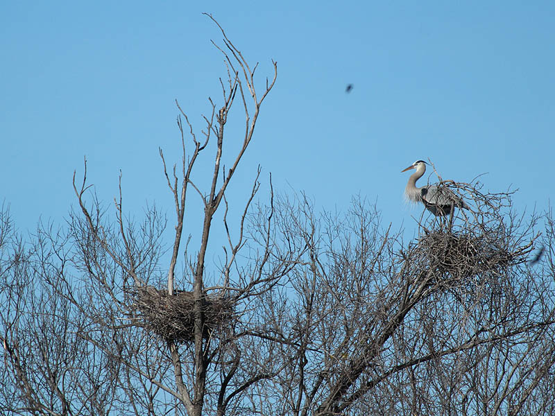 The owl's nest (left) being carefully watched by a Great Blue Heron (right).