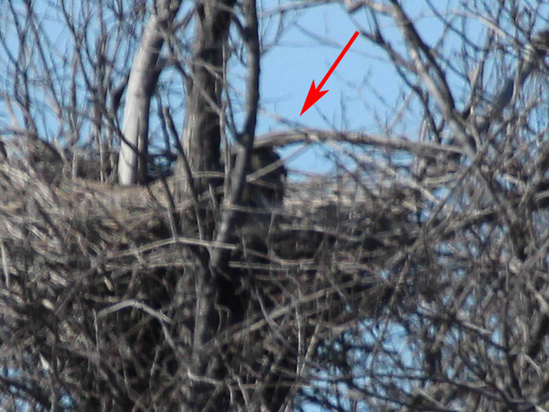 The owl in this picture (indicated by the arrow) is facing to the right so that the profile of its beak can be seen.
