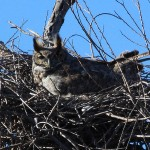 Great Horned Owl - VCDB Nests Update 3