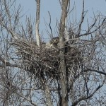 Great Horned Owl - VCDB Nests Update 2
