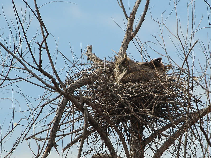 All was quiet at the north nest as the mother owl was sitting tight.