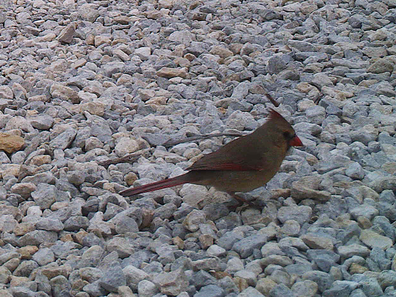 northerncardinal-rockyroad-001
