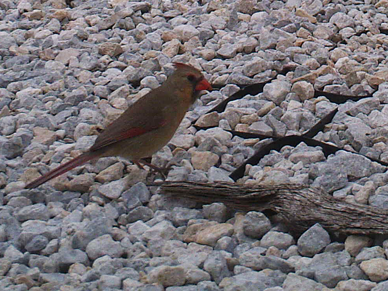 northerncardinal-rockyroad-002