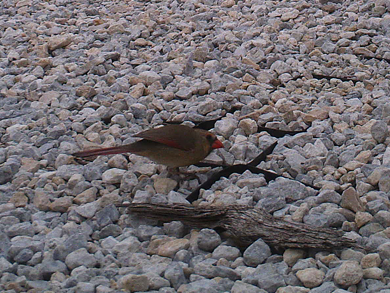 northerncardinal-rockyroad-003