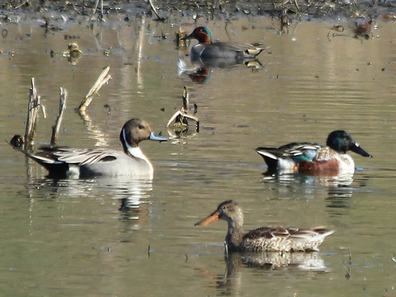 A male Northern Pintail (left) flanked by a male and female Northern Shoveler (bottom right) and a male Green-winged Teal (top).