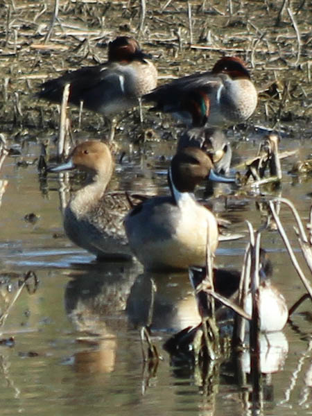 The male and female Northern Pintails together.  In this picture the male is facing right and the female is facing left.