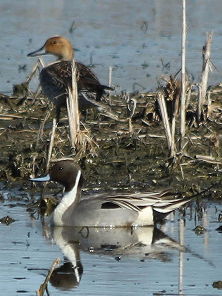The male and female Northern Pintails together.