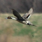 Northern Pintail - VCDB