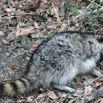 Raccoon - Distemper