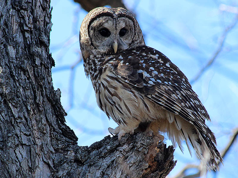 Barred Owls are beautiful birds.