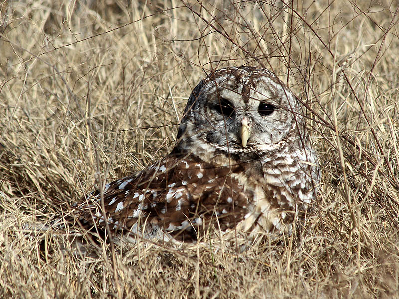 A Barred Owl on the ground.