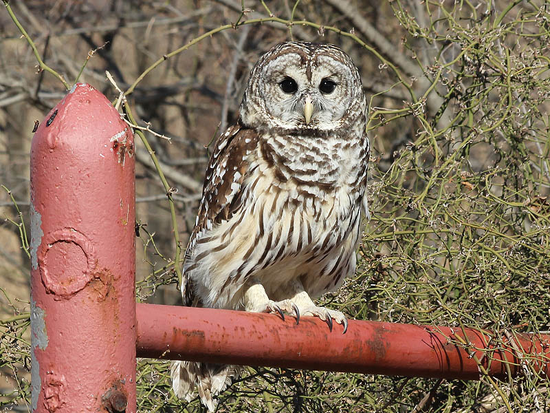 A recently released Barred Owl.